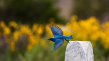 Bluebirds in Washington