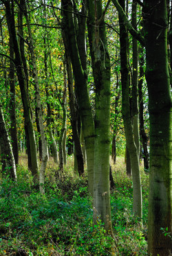 212/365 Birch wood