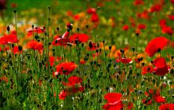 114/365 Wild poppies