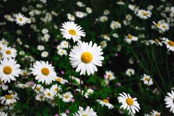 061/365 Giant daisies