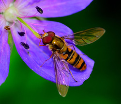 109/365 Hoverfly