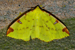 129/365 Brimstone moth