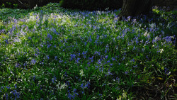 030/365 Bluebells
