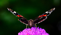 137/365 Red Admiral