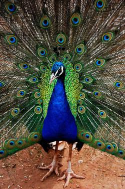 045/365 Peacock