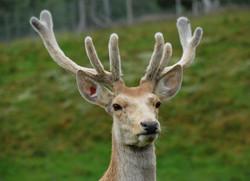 089/365 Red deer