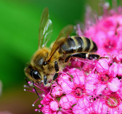 088/365 Worker bee