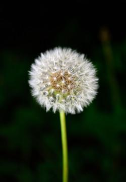 042/365 Dandelion