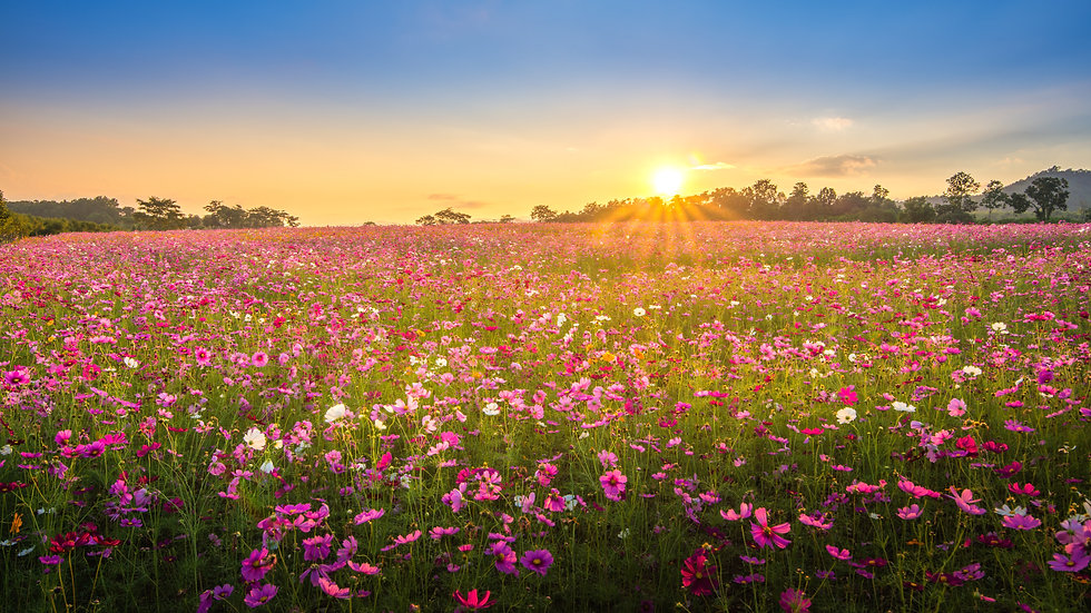 View of beautiful cosmos flower field in