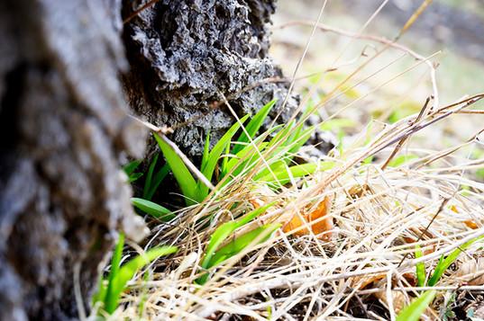 野草のカンゾウ