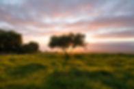 Kula Tree.jpg