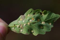 Neuroterus verrucarosum on Quercus montana
