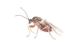 Disholcaspis quercusmamma 1
