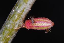 Callirhytis rugulosa on Quercus rubra