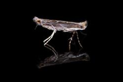 Epicephala vitisidaea