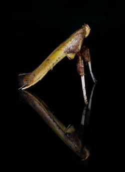 Caloptilia rhois