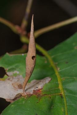 Amphibolips coelebs on Quercus rubra