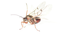 Disholcaspis quercusmamma 3