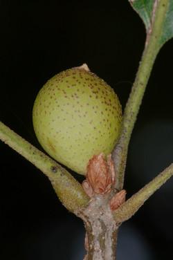 Amphibolips cookii on Quercus rubra
