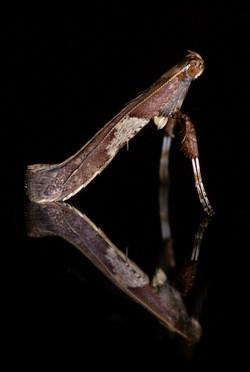 Caloptilia sp.