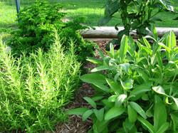 Mediterranean garden herbs