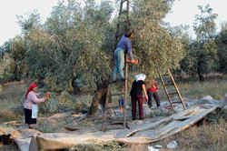 Looking after the olive tree