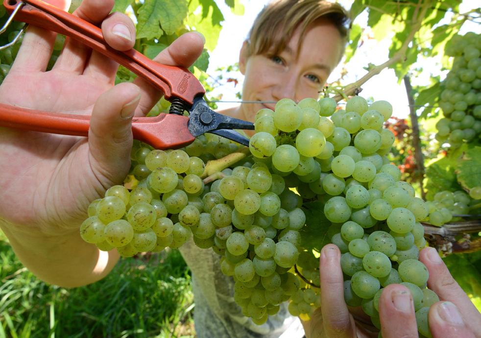 Taking care of vine trees