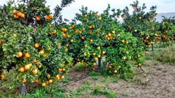 Greek orange trees
