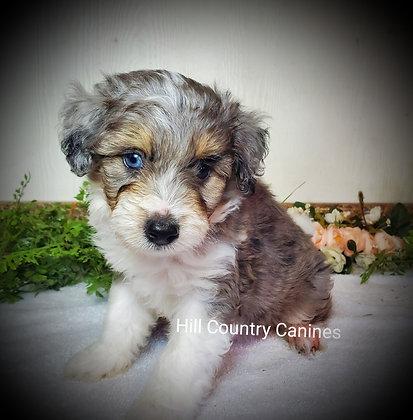 Blue Eyed Merle Mini