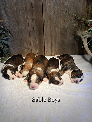 Brandy's Sable Boys