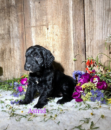 *Astrid* (Reserved)