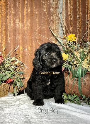 Male Miniature Goldendoodles