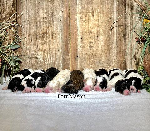 Snuggles' F1b Puppies