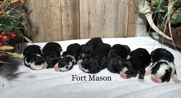 Fancy & Picasso's Litter