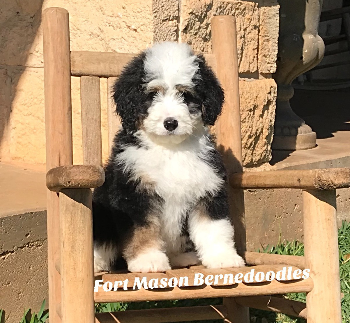 Fort Mason Bernedoodles Bernedoodle Puppies Mason Tx
