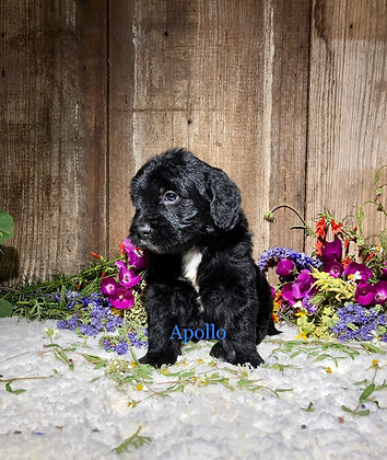 *Apollo* (Reserved)