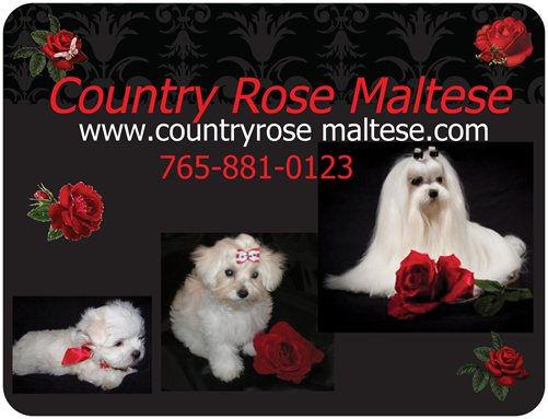 CountryRose Maltese