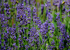 lavender2_edited.jpg