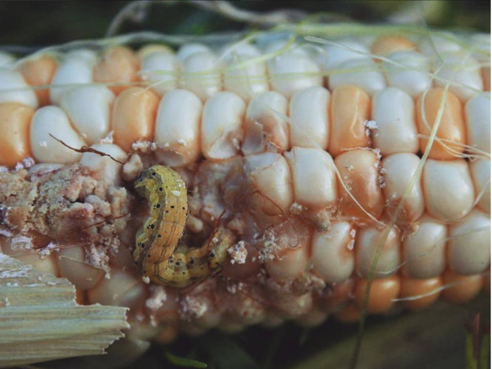 Corn borer