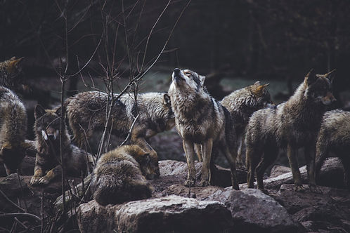 Loup alpha-thomas-bonometti.jpg