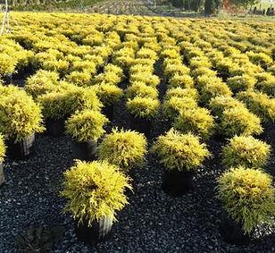 Gold Thread Cypress Photo.jpg