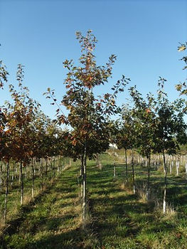 Red Oak Photo.jpg