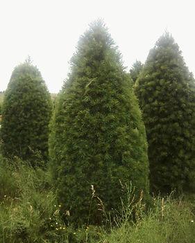 Large White Pines.jpg