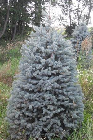 Blue Spruce Photo.jpg