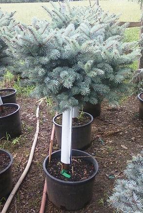 Dwarf Globosa Spruce Photo.jpg