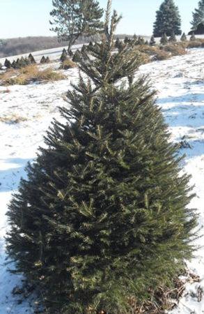 Norway Spruce Photo.jpg