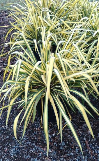 Yucca Photo.jpg