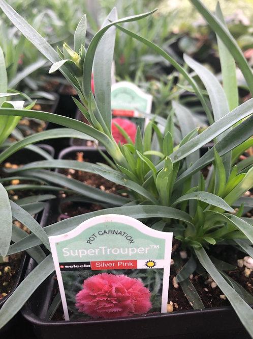 Annual Dianthus