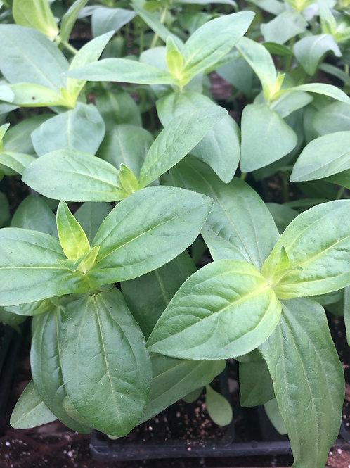 4 pack Zinnia Cactus Chyrsanthemum Mix