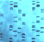 DNA-genetic-fingerprinting-on-fingerprin